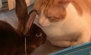 Kitty Cleans Its Bunny Friend