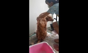 Golden retriever given mohawk hairstyle during wash in Thailand