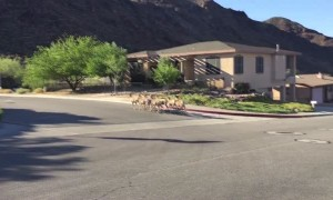 Several Wild Sheep Cross Residential Street