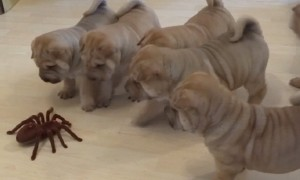 Shar Pei puppies adorably team up to take on robot spider
