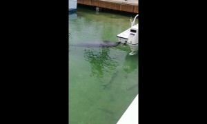 Manatee quenches its thirst by drinking water dripping off boat in the Florida Keys