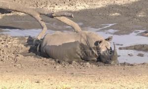 Mud, glorious mud! Huge rhino bathes in South African watering hole