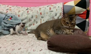 Adorable tiny kitten plays with angry big cat's tail