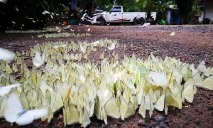 Thousands of butterflies flutter on the ground after rain in Thailand