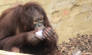 Orangutan's love their ice treats during hot weather