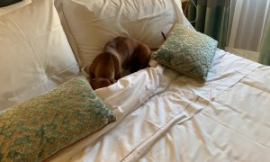 Sausage dog digs into bedding for mid-day snooze during Rome holiday