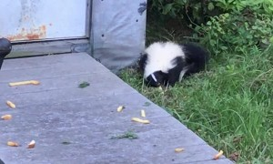Skunk Snacking on Some Fries