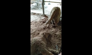 Thai Golden Retriever buries his lazy sister in soil after she refuses to play