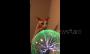 Sphynx cat in Texas becomes fascinated with plasma ball