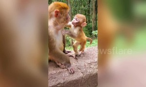 Tiny baby macaque kisses its mum on the lips in China's Guiyang