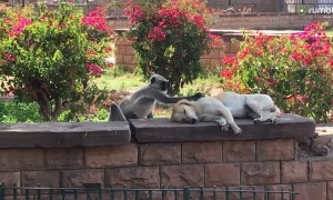 Monkey hilariously pets unsuspecting sleeping dog