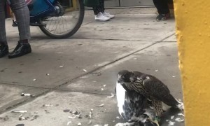 Falcon Feasts on Fellow Fowl
