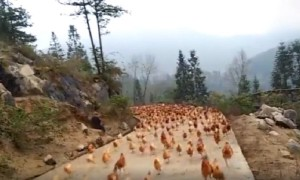 Farmer Blows Whistle To Amazingly Gather Flock of Hundreds of Chickens