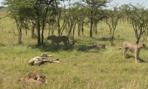 Cheetahs Chase and Take Down Zebra Foal