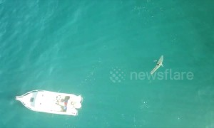 Huge great white shark circles '10 times' around Aussie fisherman's boat