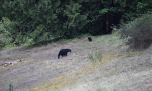 Bear caught on camera with mysterious blue head
