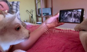 Nervous goat chills out with parents by watching films in bed at their Arizona home
