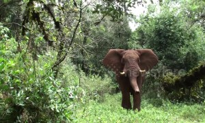 Photographer calms wild elephant in Kenya by making rumbling noises