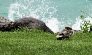 Duckling rescued after separated from mother during thunderstorm at Switzerland lake