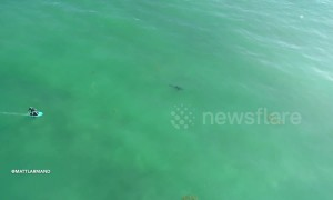 Drone footage captures ominous moment great white sharks surround California surfers
