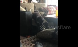 Acrobatic dog finds unique way to get of the couch
