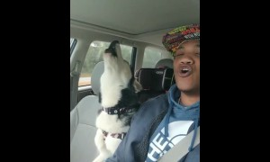 Husky and owner hilariously sing together in the car