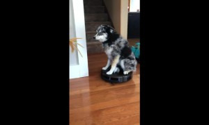 Confused pup sits on top of working robot vacuum