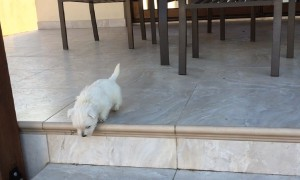 Puppy bravely conquers stairs for the first time