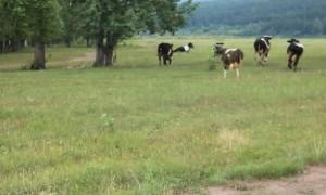 Cows Crowd Around Prancing Pony