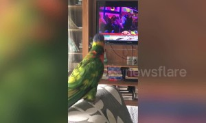 Pet parrot whistles and grooves to popular Bollywood song in Bangladesh