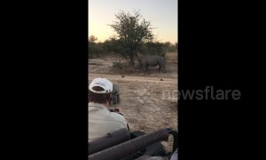 Cute moment baby rhino pretends to charge at safari jeep in South Africa