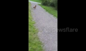 Cheeky fox steals frisbee and runs off with it