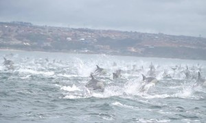 1000-strong pod of dolphins flees killer whales in South Africa
