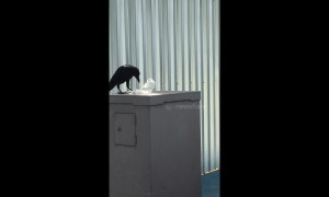 Crow seen eating a plastic bag after mistaking it for meat