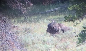 Hungry Bear Moves Huge Bison