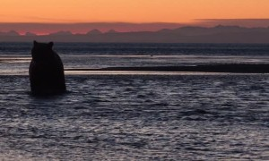 Bears Enjoy Spectacular Sunset Swim