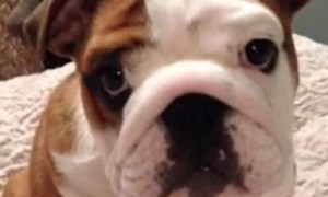 Bulldog puppy cannot get enough of his new comfy bed