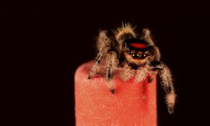Tiny Jumping Spider Springs from Pencil Eraser