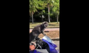 Cat rides on the front of owner's motorbike