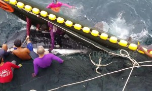 Fishermen save endangered whale shark trapped in trawler's net
