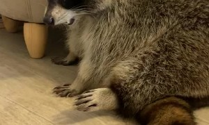 Raccoon Can't Quite Fit