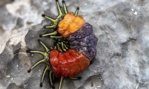 Beautiful tricolour caterpillar dances on rock in Thailand
