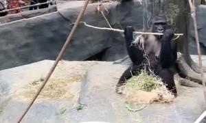 Gorilla Gets Goofy