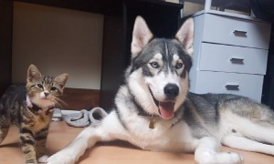 Husky dog finds companionship in tiny kitten