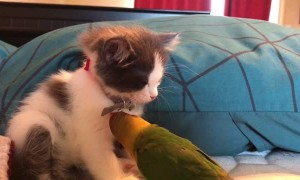 Parrot Plays with Sleepy Kitty's Bling