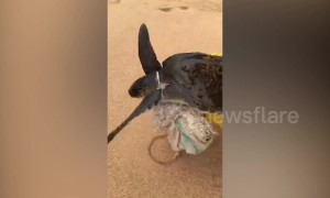 Beachgoers rescue endangered turtle with a plastic sack wrapped around its neck