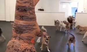 Dog pack encounters man dressed in t-rex costume