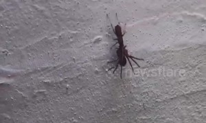 Insane moment wasp paralyzes huge Huntsman spider in Australia and DRAGS it away