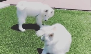 Samoyed invites friend to play, gets instantly ignored