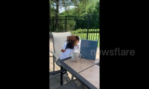 Genius Boxer dog 'reads' about learning to talk while enjoying an elegant pipe